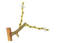Poirier conseils de plantation taille et entretien - Taille du poirier william ...