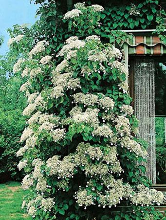 Cat gorie plante dext rieur du guide et comparateur d 39 achat - Ortensia rampicante petiolaris ...