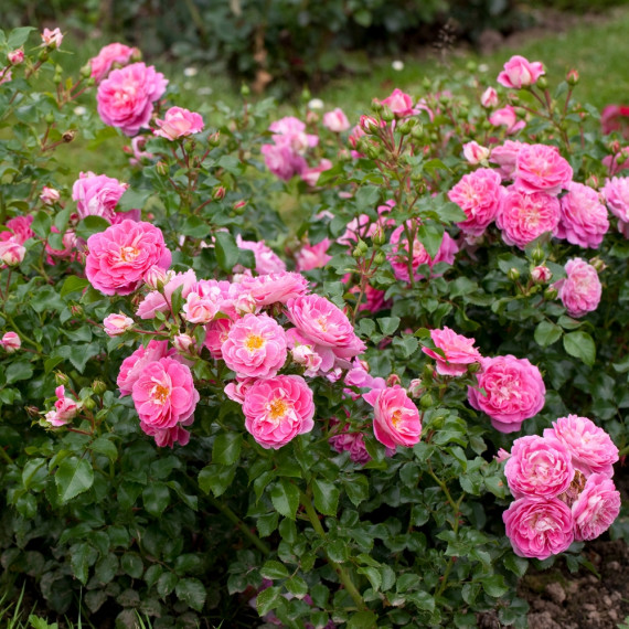 Rosier LOVELY PINK ® Meinoplius