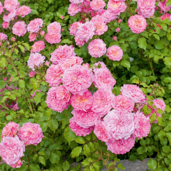 Rosier Sweet DRIFT ® Meiswetdom