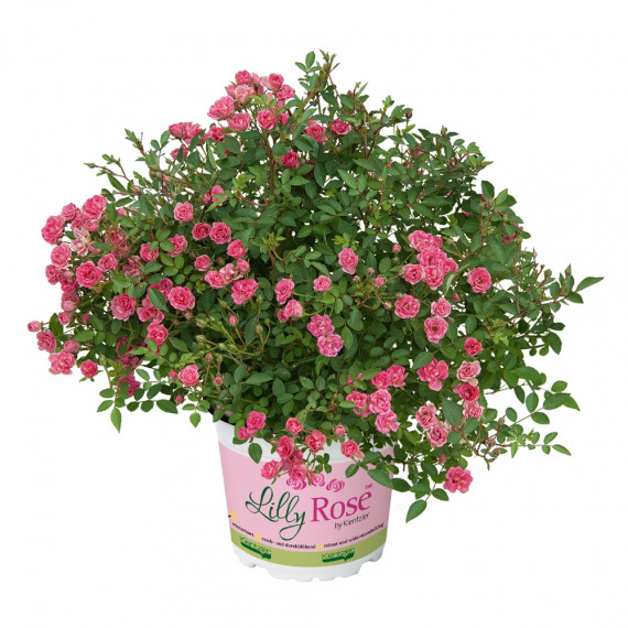 Mini-rosier LillyRose ® Aya No5