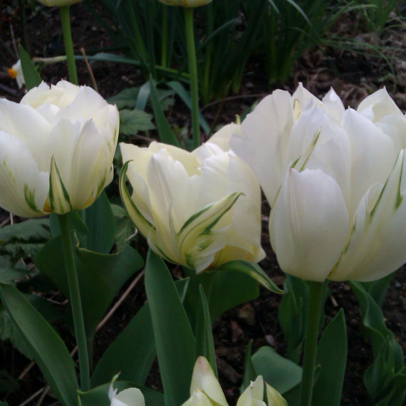 Tulipe double hâtive Exotic Empereur