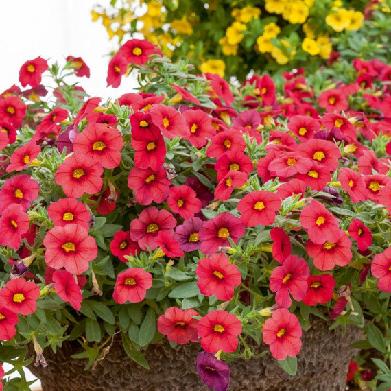 Calibrachoa MILLION BELLS ® Red Sunbelre