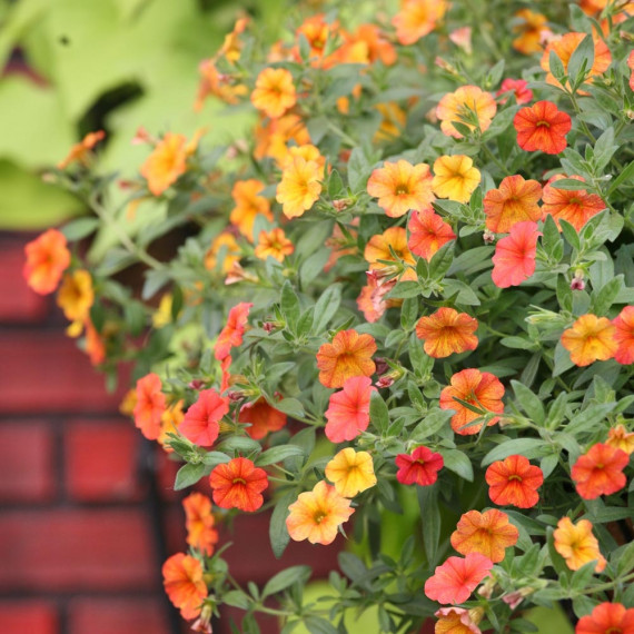 Calibrachoa MILLION BELLS ® Crackling Fire Sunbelfire