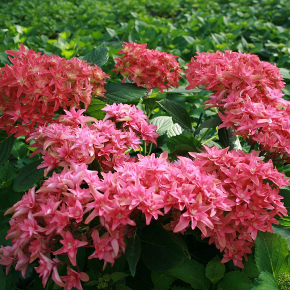 Hortensia macrophylla YOU & ME ® Princess Diana 'H213'