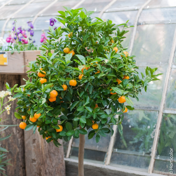 Calamondin, Citrus madurensis, Citrofortunella mitis