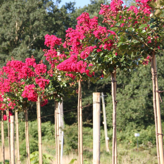 Lagerstroemia INDIYA CHARMS ® BRAISE D'ETE ® 'Indybra' demi-tige