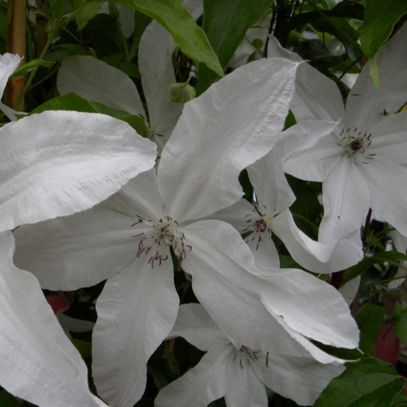 Clématite ou Clematis X BEAUTIFUL BRIDE ®