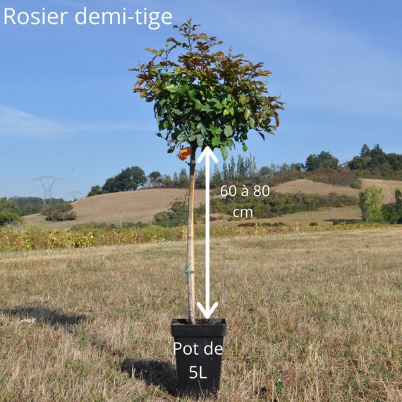 Rosier Demi-tige CARTE D'OR ® Meidresia