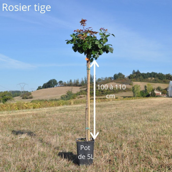 Rosier Tige ANDRE LE NOTRE ® Meiceppus