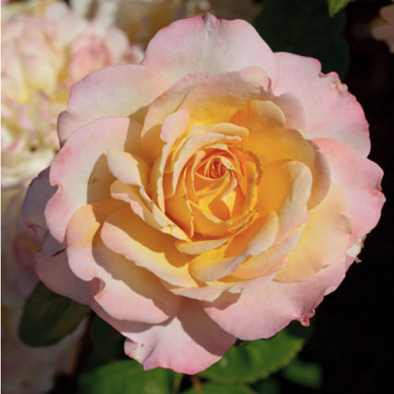 Rosier Pierre Tchernia ® Meimouvie