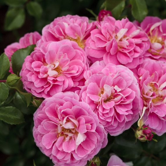 Rose Lovely Pink ® Meinoplius