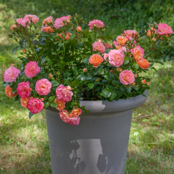 Rosier Peach DRIFT ® Meiggili