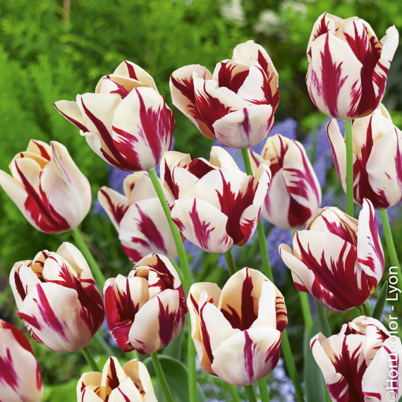 Tulipe Triomphe Grand Perfection