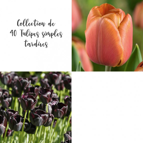 Collection de 40 Tulipes simples tardives