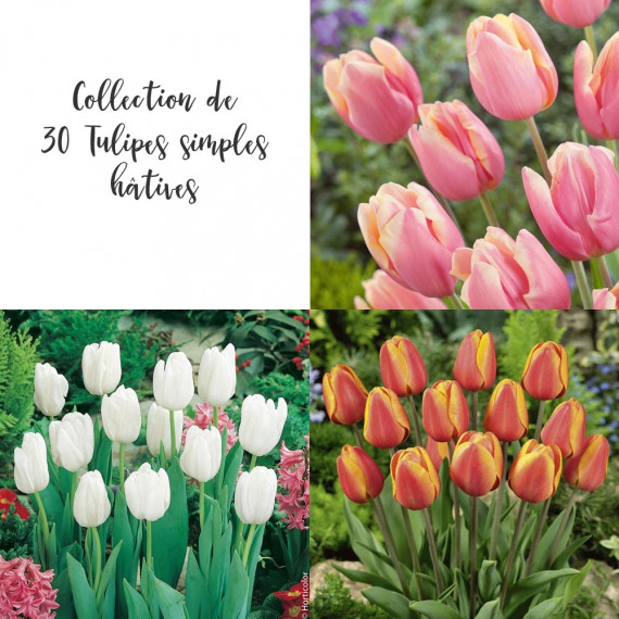 Collection de 30 Tulipes simples hâtives