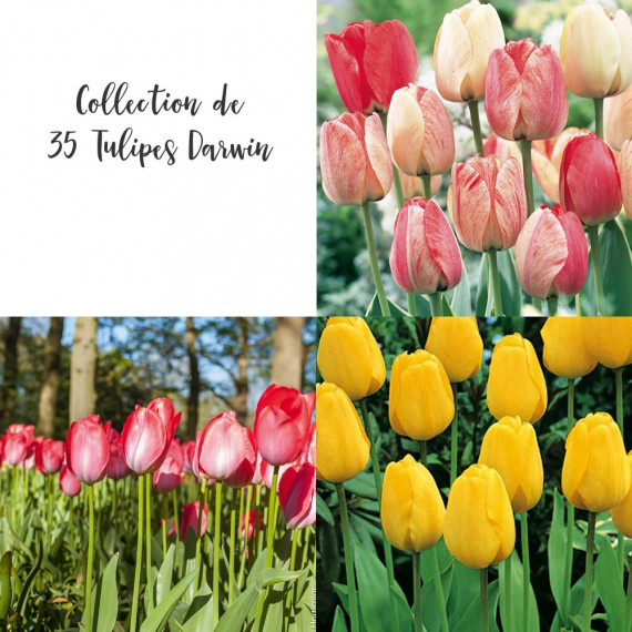 Collection de 35 Tulipes Darwin