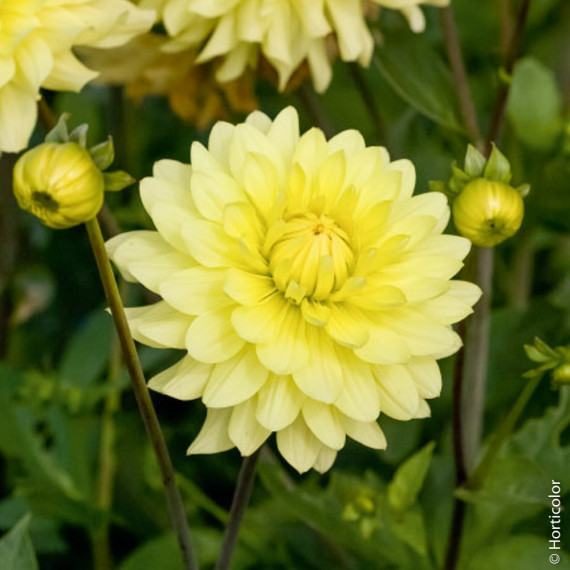 Dahlia semi-cactus ordinaire Junior
