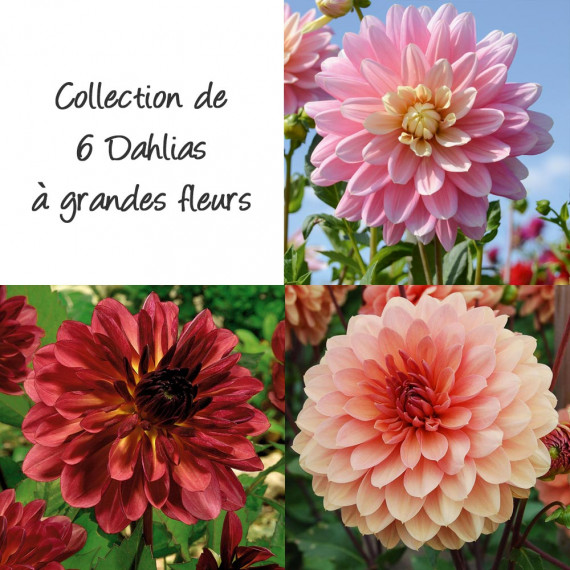 Collection de 6 dahlias à grandes fleurs