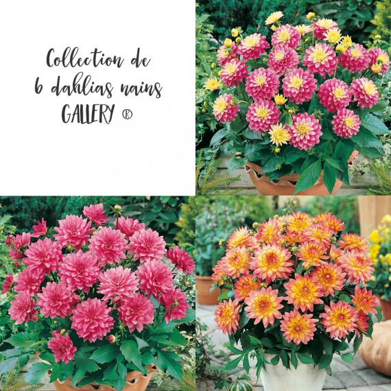 Lot de Dahlias Nains Gallery ®