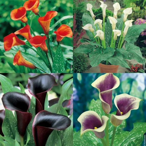 Collection de 6 Arums au Coloris Rare