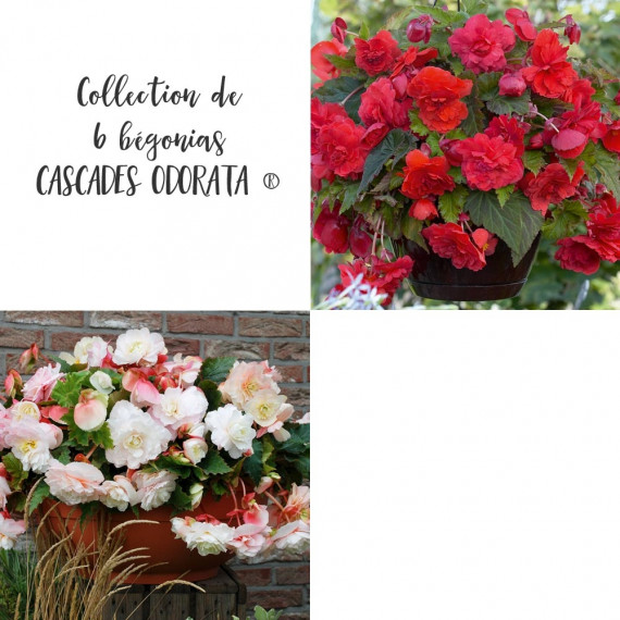 Collection de 6 bégonias CASCADES ODORATA ®