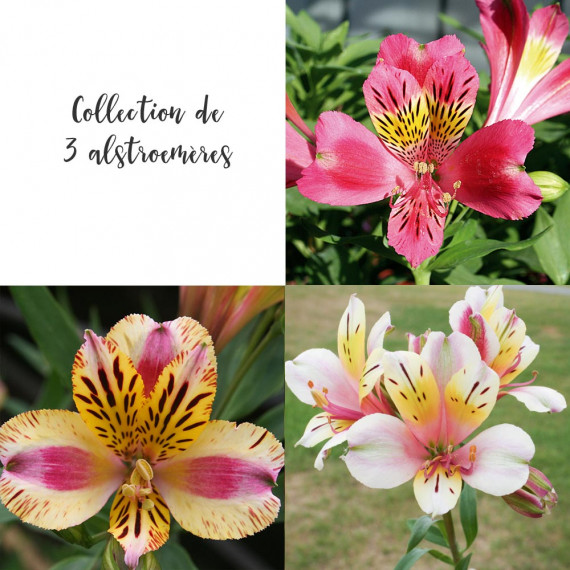 Collection de 3 alstroemères
