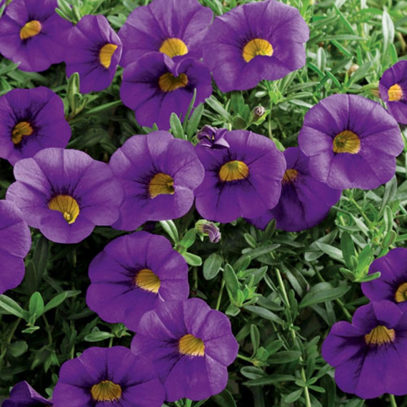 Calibrachoa MILLION BELLS ® Trailing blue Sunbelkubu