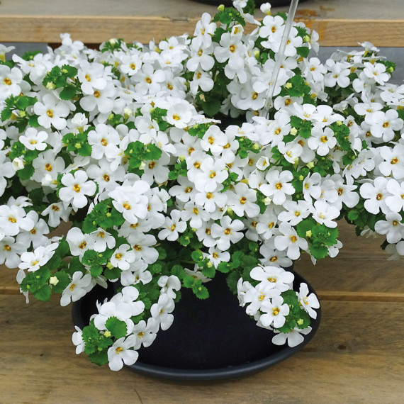 Bacopa Scopia Compact White