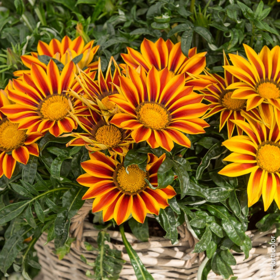 Gazania Red Stripe