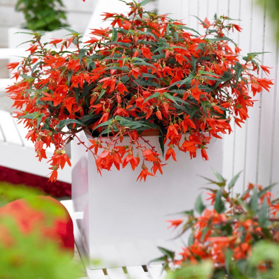 Bégonia CRACKLING FIRE ® Orange red Sunjiradai