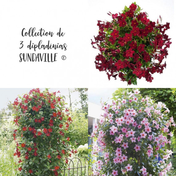 Collection de 3 Dipladénias SUNDAVILLE ®