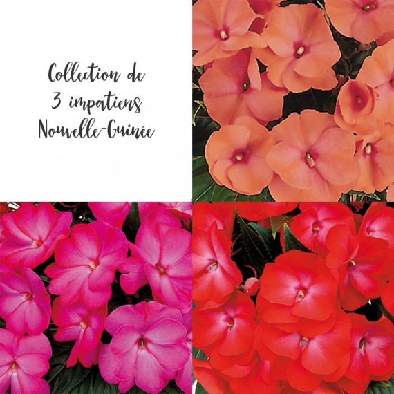 Collection 3 Impatiens de Nouvelle Guinée