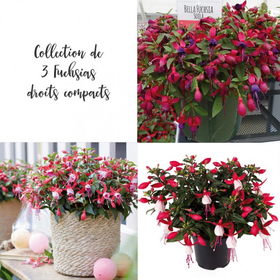 Collection 3 Fuchsias droits compacts BELLA ®