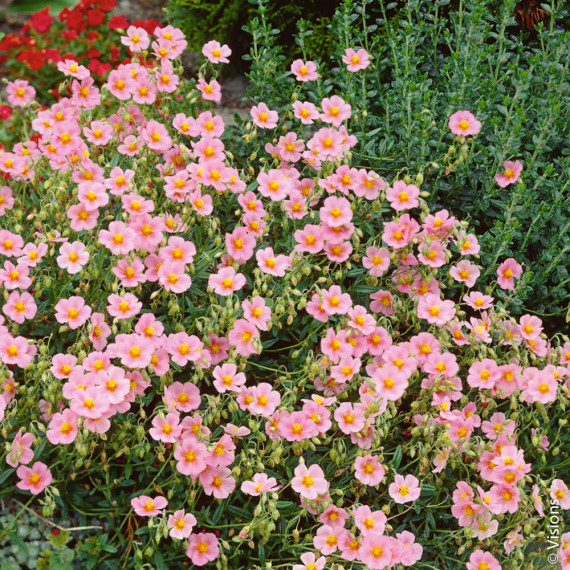 Helianthemum Lawrenson's Pink