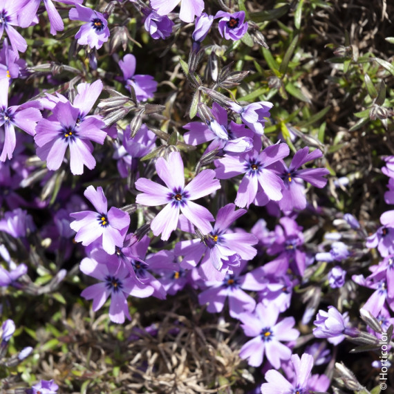 Phlox nain 'Purple Beauty'