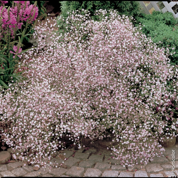 Gypsophila paniculata 'Flamingo' ou gypsophile double rose