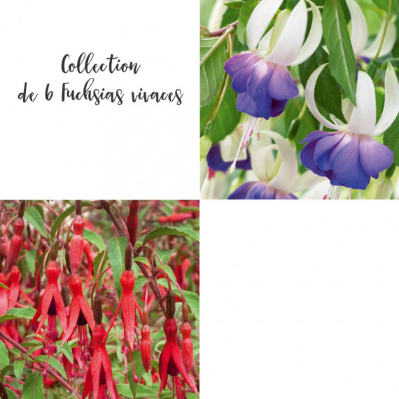 Collection de 6 Fuchsias vivaces