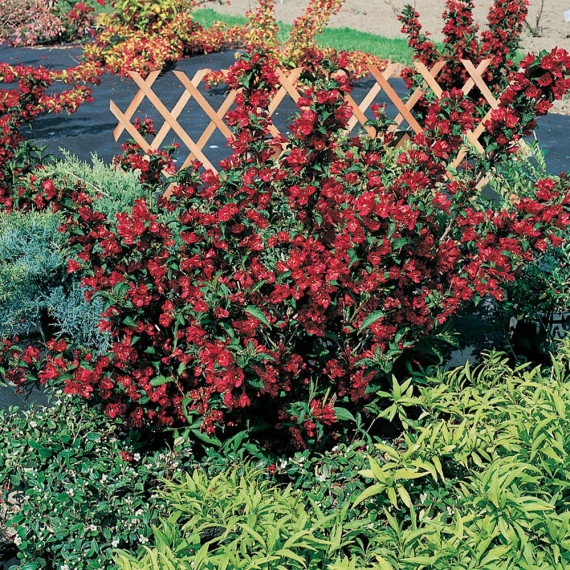 Weigelia NAIN ROUGE ® Courtanin