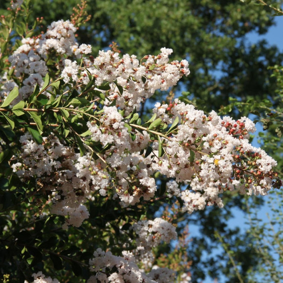 Lagerstroemia INDIYA CHARMS ® NEIGE D'ETE ® buisson