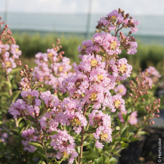 Lagerstroemia indica rose Thé