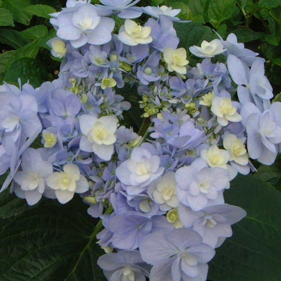 Hortensia macrophylla YOU & ME ® Forever 'RIE 01' Bleu