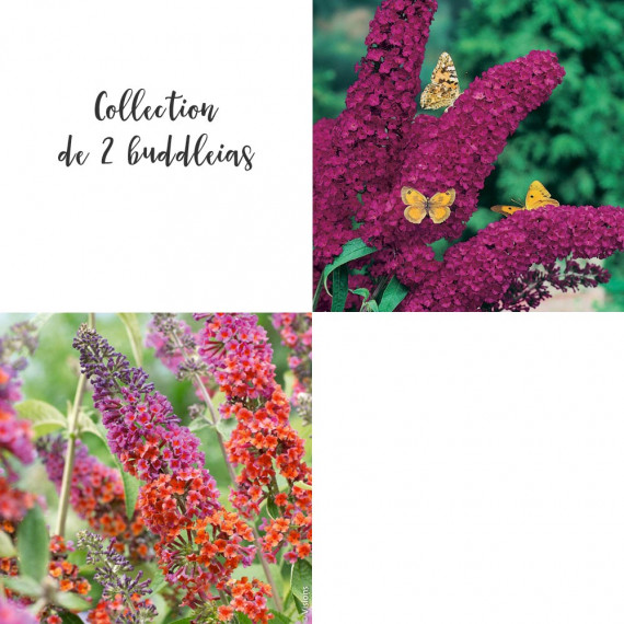 Collection de 2 buddleias