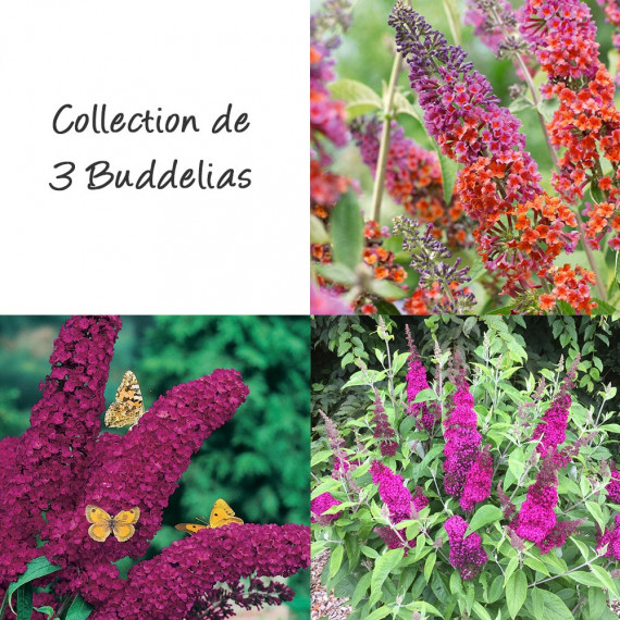Collection de 3 buddleias