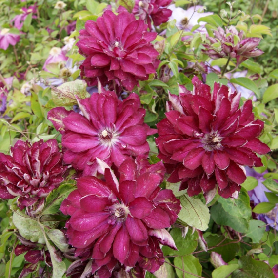 Clématite ou Clematis X RED PASSION ® 'Zo110056' Meilland Richardier