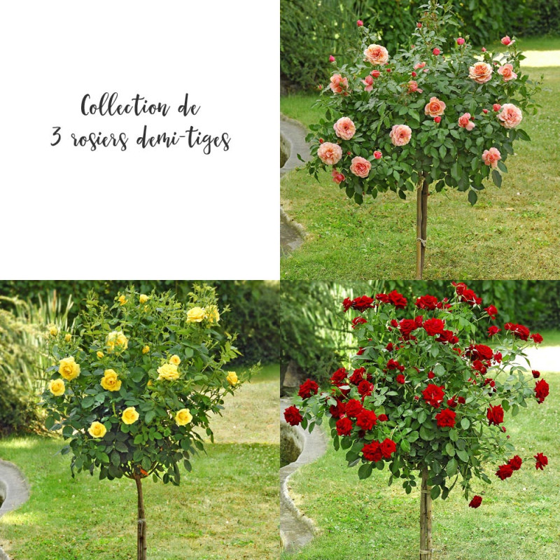 Collection 3 rosiers demi tiges rosiers offres sp ciales - Quand tailler rosier tige ...