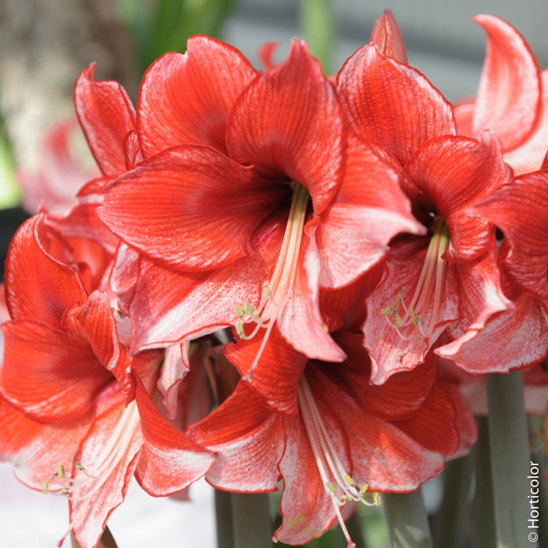 Amaryllis charisma bulbes d 39 int rieur meilland richardier for Amaryllis interieur
