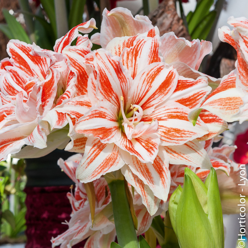 Amaryllis dancing queen achat de bulbes d 39 int rieur for Amaryllis interieur