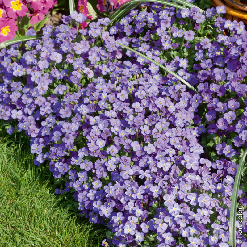 Aubriete royal violet vivaces pour bordures et rocailles meilland richardier for Plante pour bordure