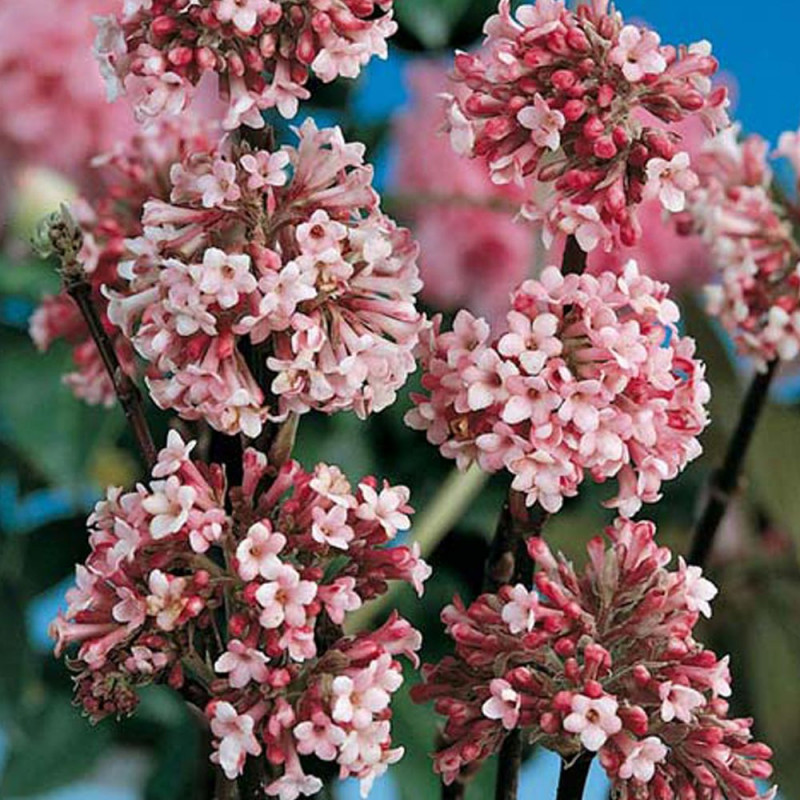 viburnum bodnantense dawn arbustes floraison. Black Bedroom Furniture Sets. Home Design Ideas
